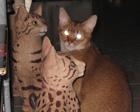 Kolme kissaa, mikä ei kuulu joukkoon? 2009